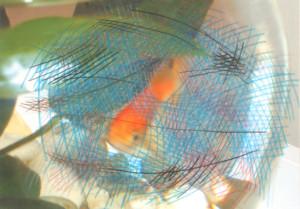 gold-fish-1